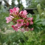 Fleur Escallonia