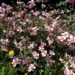 Fleurs roses aux coeurs jaunes