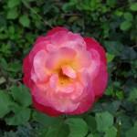 Rose dégradée