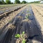 Aubergines plantées !