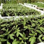 Plants de tomate à planter