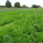 Jungle de carottes