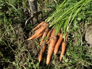 Cueillette carottes