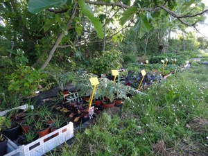 Plants potagers