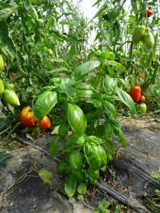Pied basilic dans serre tomates