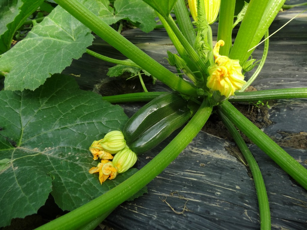 Courgettes siamoises